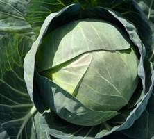Церокс F1, семена капусты белокочанной (Bejo / Бейо)