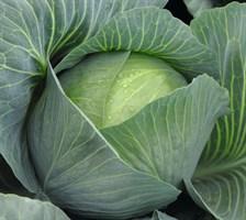 Амтрак F1, семена капусты белокочанной (Bejo / Бейо)