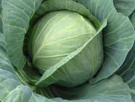 Хинова F1, семена капусты белокочанной (Bejo / Бейо)