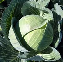 Каунтер F1, семена капусты белокочанной (Bejo / Бейо)