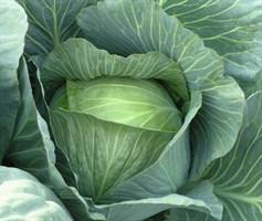 Леннокс F1, семена капусты белокочанной (Bejo / Бейо)