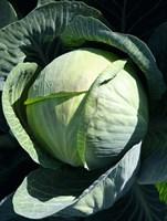 Циклон F1, семена капусты белокочанной (Bejo / Бейо)