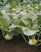 Корист F1, семена капусты кольраби (Bejo / Бейо)