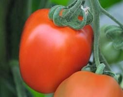 Бенито F1, семена томата детерминантный (Bejo / Бейо)