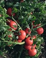 Султан F1, семена томата детерминантный (Bejo / Бейо)
