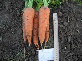 Чикаго  F1, семена моркови (Wing Seed  / Винг Сидс )