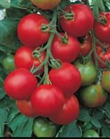 Толстой F1, семена томата индетерминантный (Bejo / Бейо)