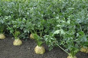 Диамант, семена сельдерея корневого (Bejo / Бейо)
