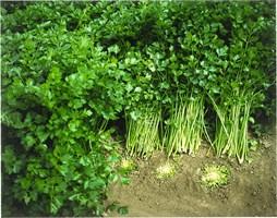 Афина, семена сельдерея корневого (Bejo / Бейо)