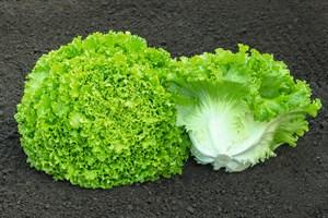 Сементел, семена салата батавия (Bejo / Бейо)