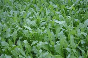 Рокет, семена рукколы дикой  (Wing Seeds / Винг Сидс)