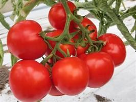 Джина ТСТ, семена томата детерминантного (Wing Seeds / Винг Сидс)