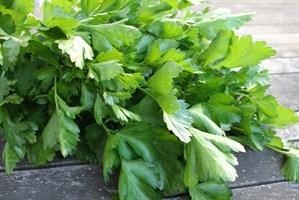 Итальянский Гигант, семена петрушки (Wing Seeds / Винг Сидс)