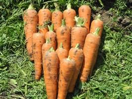 Скорпио F1, семена моркови (Wing Seeds / Винг Сидс)