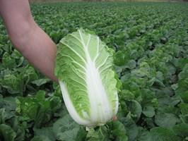 Сотси F1, семена капусты пекинской (Wing Seeds / Винг Сидс)