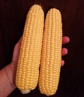 Трофи F1, семена кукурузы (Seminis / Семинис)