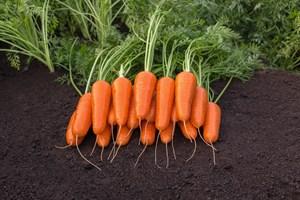 Каспий F1, семена моркови (Bejo / Бейо)