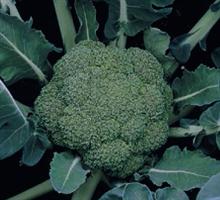 Монтоп F1, семена капусты брокколи (Syngenta / Сингента)