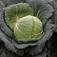 Виратоба F1, семена капусты савойковской (Syngenta / Сингента)