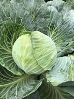 Глория F1, семена капусты белокочанной (Syngenta / Сингента)