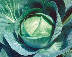 Куизор F1, семена капусты белокочанной (Syngenta / Сингента)