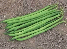 Серенгети, семена фасоли (Syngenta / Сингента)