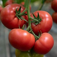 Мамстон F1, семена томата индетерминантного (Syngenta / Сингента)