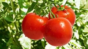 Арнольд F1, семена томата подвой (Syngenta / Сингента)
