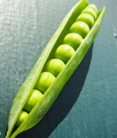 Сомервуд, семена гороха (Syngenta / Сингента)