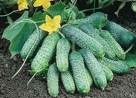 Пасамонте F1, семена огурца партенокарпик (Syngenta / Сингента)
