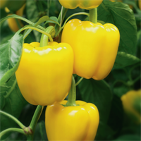 Люмос F1, семена перца сладкого (Syngenta / Сингента)
