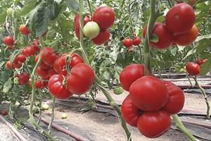 Девонет F1, семена томата полудетерминантный (Syngenta / Сингента)