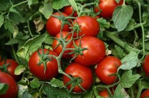 Чибли F1, семена томата процессингового (Syngenta / Сингента)
