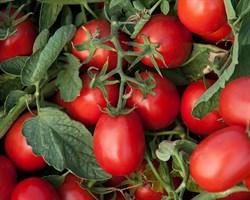 Астерикс F1, семена томата процессингового (Syngenta / Сингента)