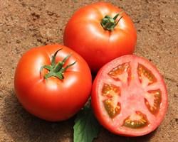 Бувена F1, семена томата индетерминантный (Syngenta / Сингента)
