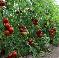 Дантина F1, семена томата индетерминантный (Syngenta / Сингента)