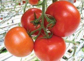 Макарена F1, семена томата индетерминантный (Syngenta / Сингента)