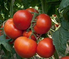 Панекра F1, семена томата индетерминантный (Syngenta / Сингента)