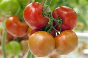 Эдамсо F1, семена томата индетерминантный (Syngenta / Сингента)
