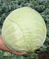 Хипо F1, семена капусты белокочанной (Sakata / Саката)