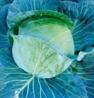 Марло F1, семена капусты белокочанной (Sakata / Саката)