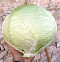 Файтер F1, семена капусты белокочанной (Sakata / Саката)