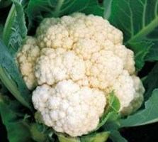 Уайт Эксел F1, семена капусты цветной (Sakata / Саката)