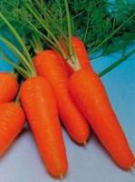 Курода Шантанэ, семена моркови (Sakata / Саката)