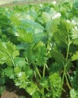 Санто, семена кориандра (Sakata / Саката)