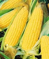 Хони Бентам F1, семена кукурузы (Sakata / Саката)