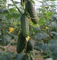 Уран F1,  семена огурца партенокарпик (Sakata / Саката)