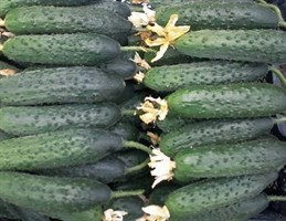 Габри F1, семена огурца партенокарпического (Sakata / Саката)
