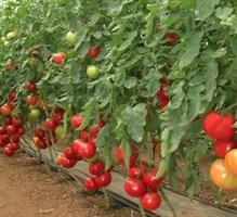 Розалин F1, семена томата индетерминантного (Sakata / Саката)