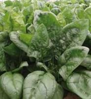 Аполло F1, семена шпината (Sakata / Саката)
